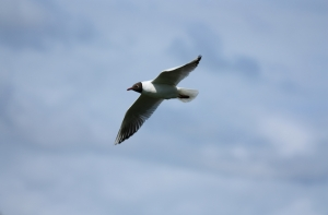 black-headed-gull-in-flight-1424454-m