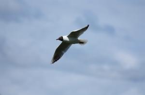 black-headed-gull-in-flight-1424454-m
